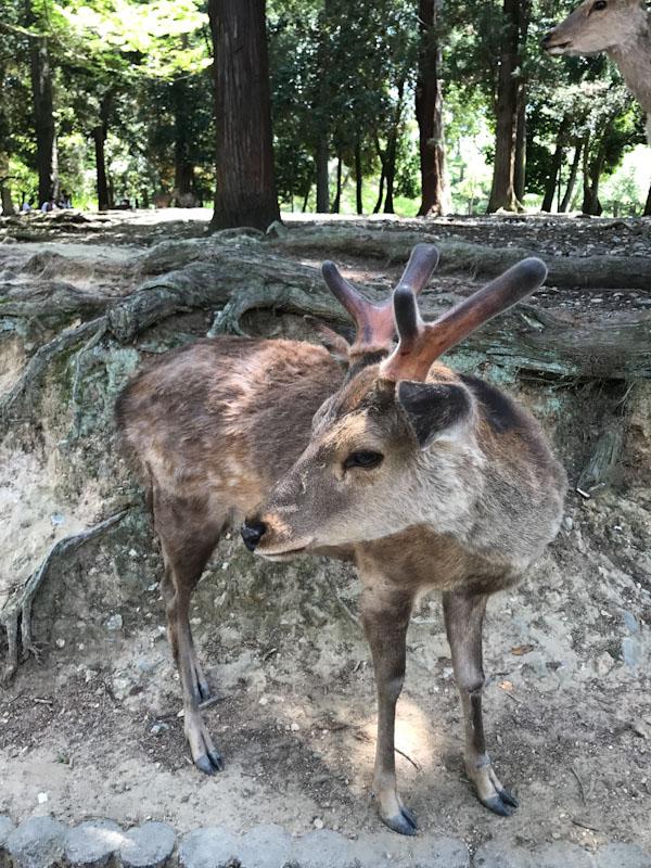 Cervo Nara Japão
