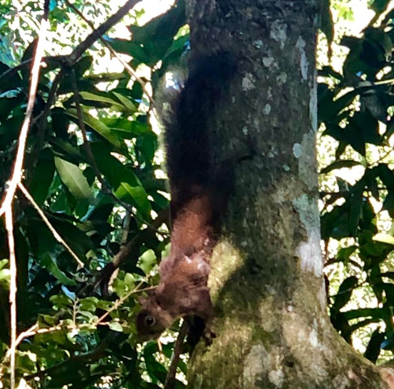 esquilo fauna ilhabela